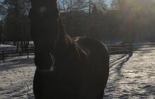 Pferd auf Wiese - Winter, Schnee, Willingen, Sauerland