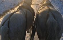 Pferde ziehen Kutsche in verschneiter Winterlandschaft in Willingen