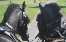 Pferde vor Viktoriakutsche